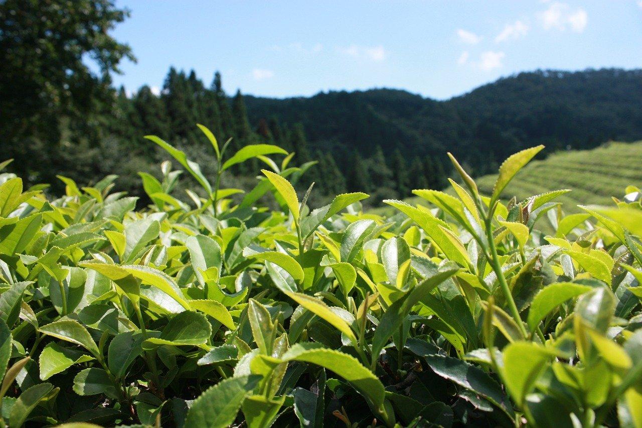 greentea-leaf