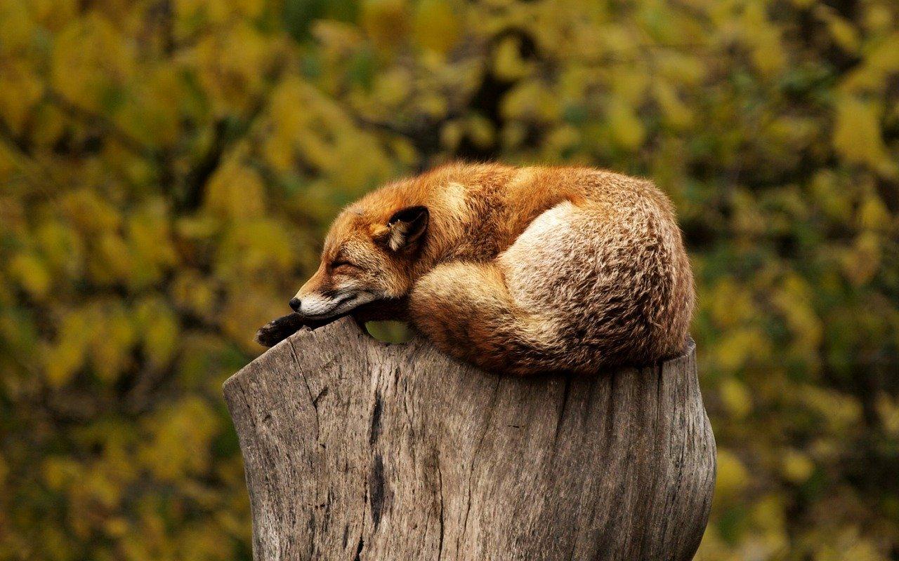 Slepp-Fox